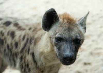 Hyena's daring-you-to-step-in stare.