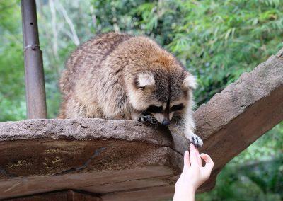 Raccoons loves free food.