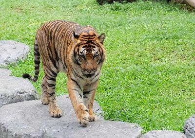 Tiger tiger shining bright.