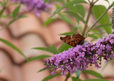 Butterfly on purple dinky flowers