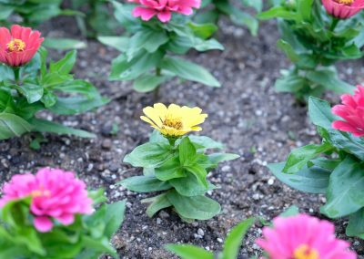 Yellow flower surrounded by pretty pink ones