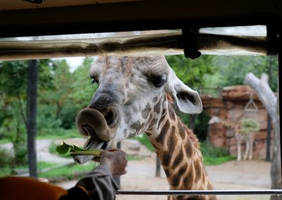 Feeding giraffe on the safari