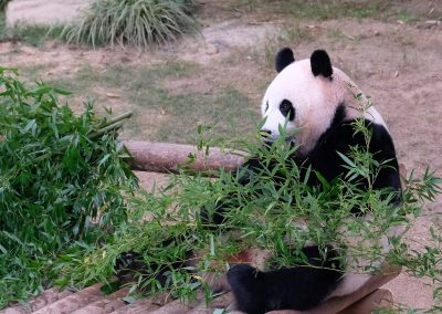 Luxury life of a panda